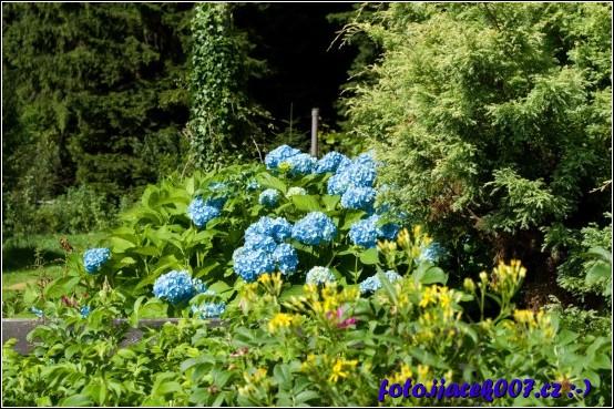 obrázek modré květy