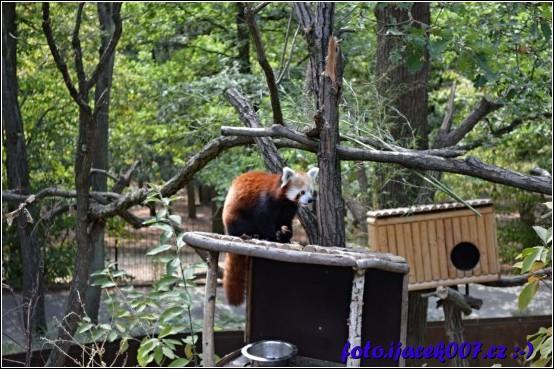 obrázek panda červená
