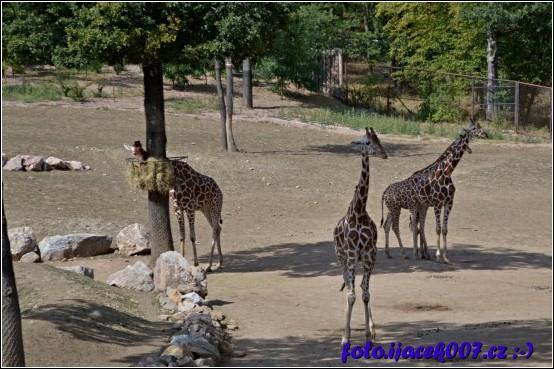 obrázek žirafy