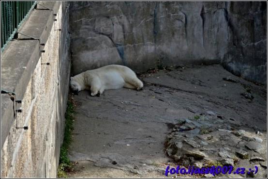 obrázek lední medvěd